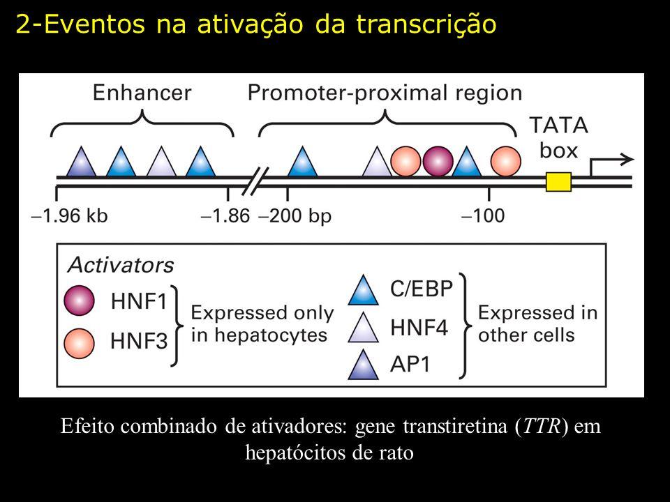 Efeito combinado de ativadores: gene transtiretina (TTR) em hepatócitos de rato 2-Eventos na ativação da transcrição