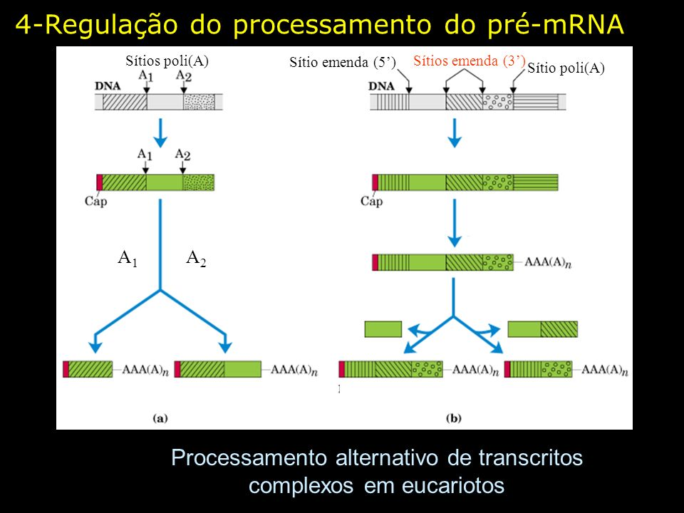 Processamento alternativo de transcritos complexos em eucariotos Sítios poli(A) Sítio poli(A) Sítios emenda (3) Sítio emenda (5) A1A2A1A2