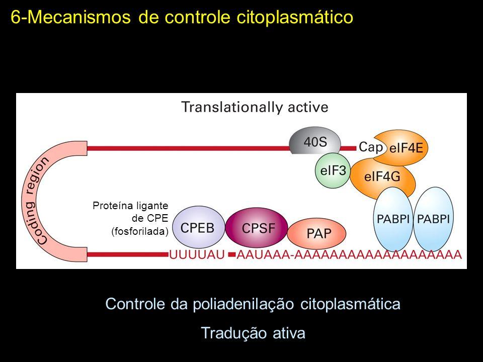 6-Mecanismos de controle citoplasmático Controle da poliadenilação citoplasmática Tradução ativa Proteína ligante de CPE (fosforilada)