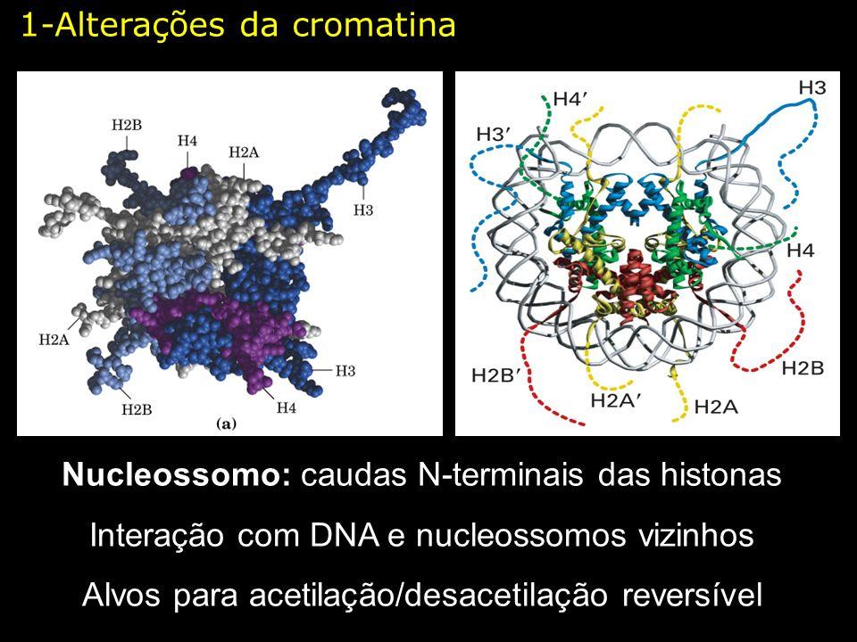 Nucleossomo: caudas N-terminais das histonas Interação com DNA e nucleossomos vizinhos Alvos para acetilação/desacetilação reversível 1-Alterações da