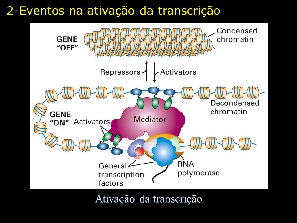 Estrutura dos complexos de mediadores – leveduras e humanos Modelo Computacional 2-Eventos na ativação da transcrição