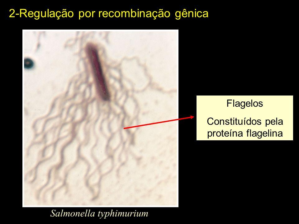 Salmonella typhimurium 2-Regulação por recombinação gênica Flagelos Constituídos pela proteína flagelina