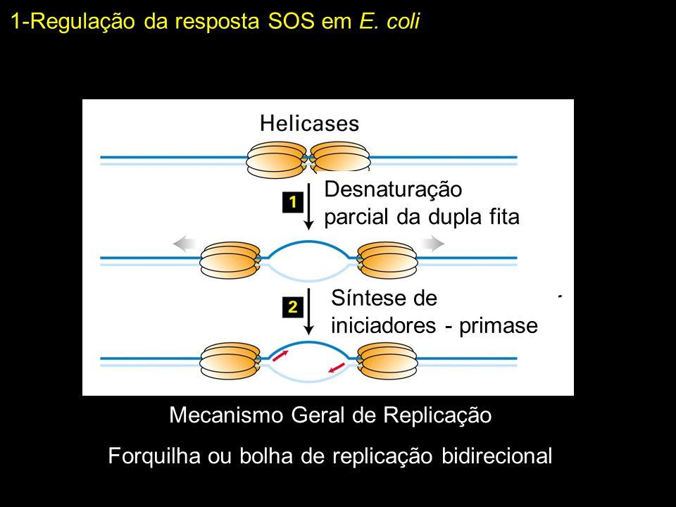 1-Regulação da resposta SOS em E. coli Desnaturação parcial da dupla fita Síntese de iniciadores - primase Mecanismo Geral de Replicação Forquilha ou