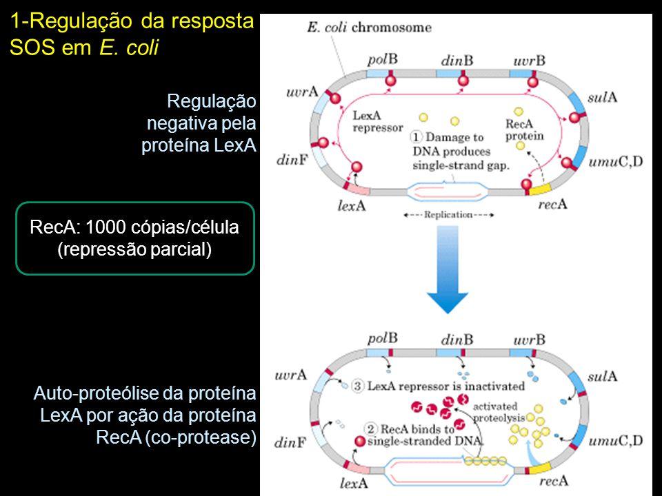 1-Regulação da resposta SOS em E. coli Regulação negativa pela proteína LexA Auto-proteólise da proteína LexA por ação da proteína RecA (co-protease)