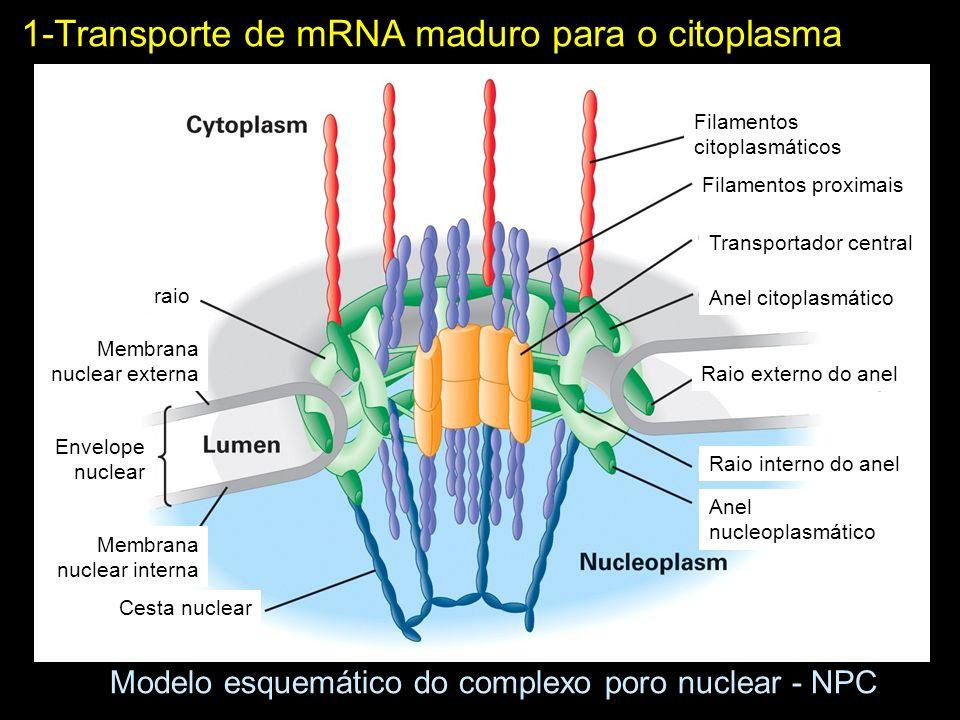 Modelo esquemático do complexo poro nuclear - NPC raio Membrana nuclear externa Envelope nuclear Membrana nuclear interna Cesta nuclear Anel nucleopla
