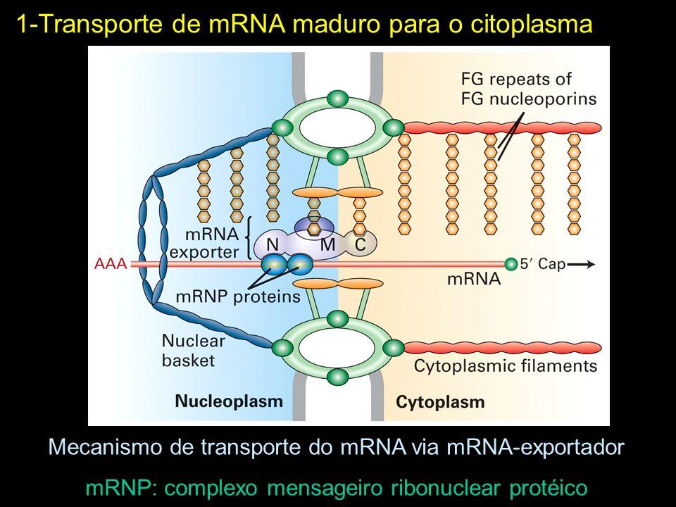 1-Transporte de mRNA maduro para o citoplasma Mecanismo de transporte do mRNA via mRNA-exportador mRNP: complexo mensageiro ribonuclear protéico