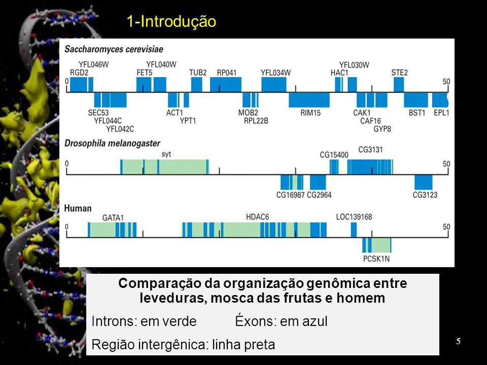 Comparação da organização genômica entre leveduras, mosca das frutas e homem Introns: em verdeÉxons: em azul Região intergênica: linha preta 1-Introdu