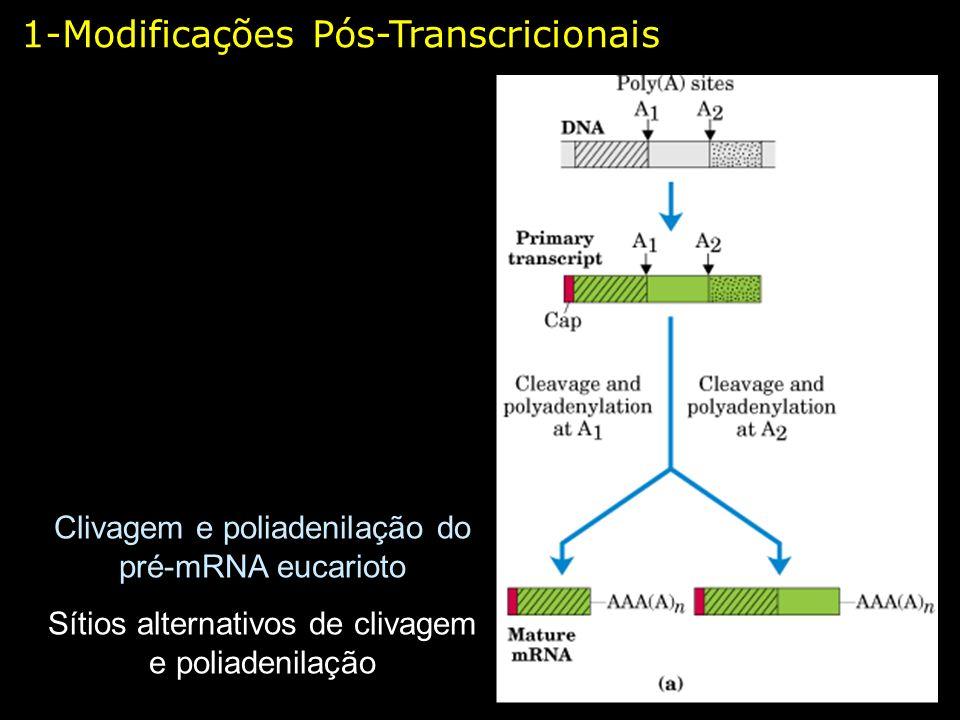 1-Modificações Pós-Transcricionais Clivagem e poliadenilação do pré-mRNA eucarioto Sítios alternativos de clivagem e poliadenilação