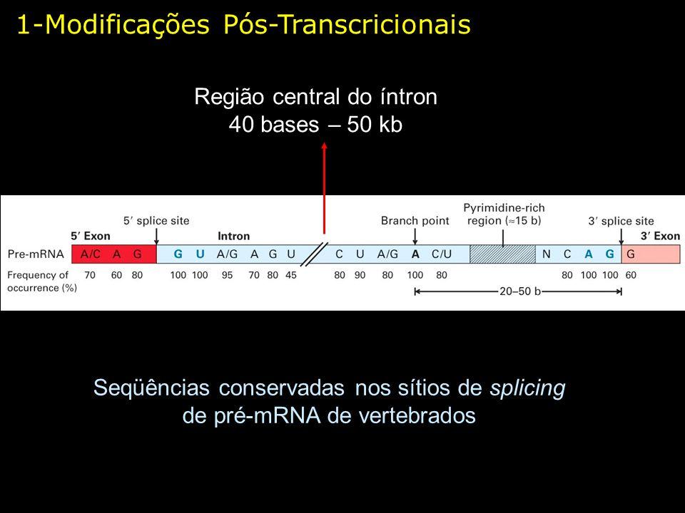 1-Modificações Pós-Transcricionais Seqüências conservadas nos sítios de splicing de pré-mRNA de vertebrados Região central do íntron 40 bases – 50 kb