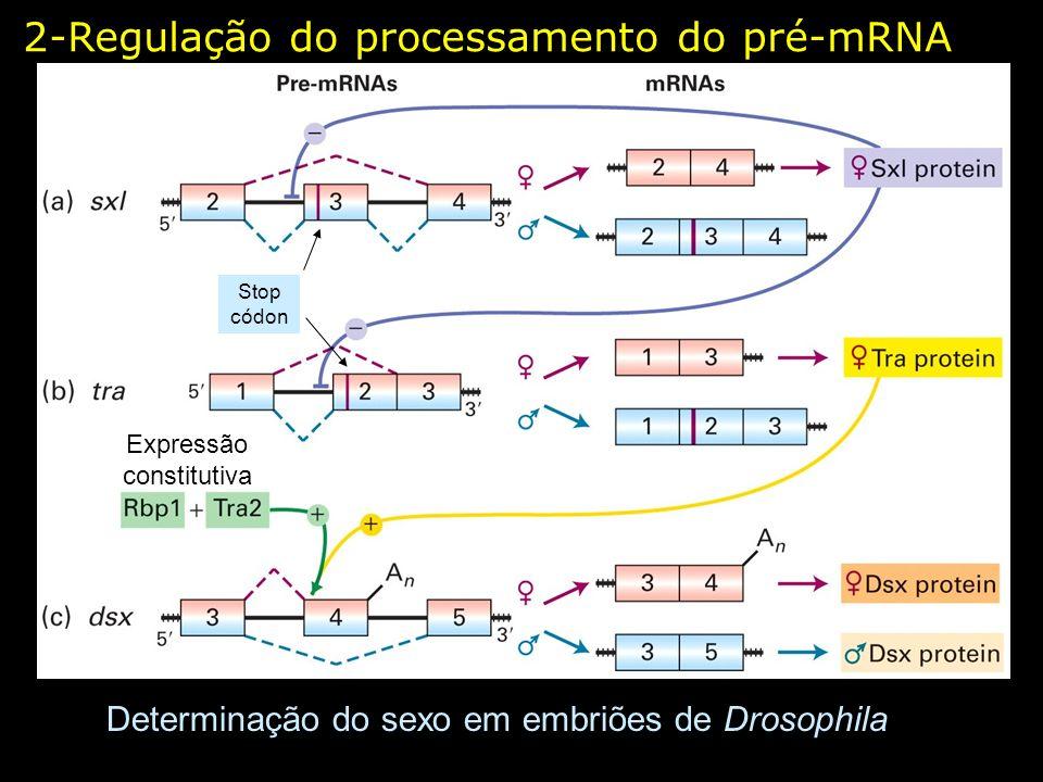 2-Regulação do processamento do pré-mRNA Determinação do sexo em embriões de Drosophila Stop códon Expressão constitutiva