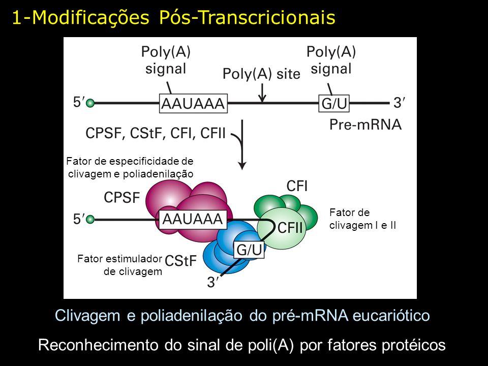 Clivagem e poliadenilação do pré-mRNA eucariótico Reconhecimento do sinal de poli(A) por fatores protéicos Fator de especificidade de clivagem e polia
