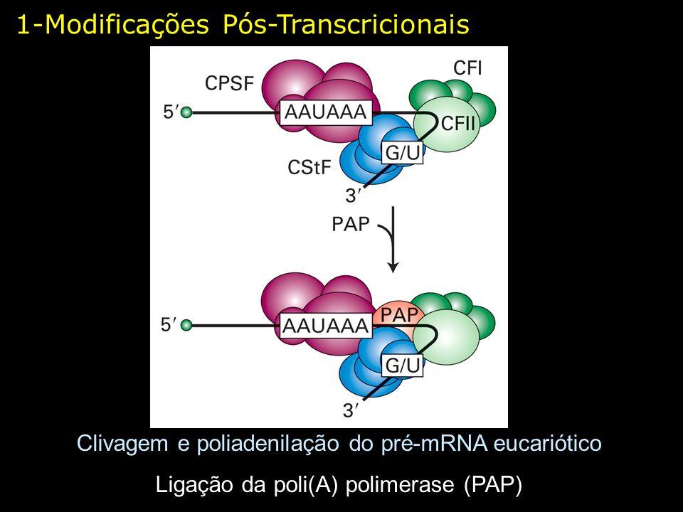 1-Modificações Pós-Transcricionais Clivagem e poliadenilação do pré-mRNA eucariótico Ligação da poli(A) polimerase (PAP)
