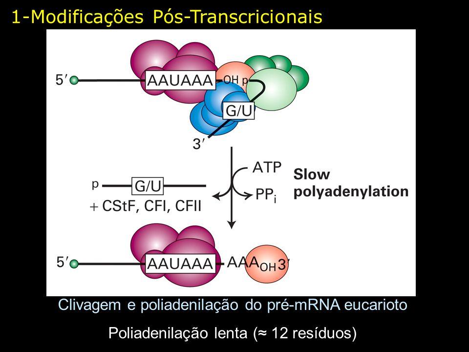 1-Modificações Pós-Transcricionais Clivagem e poliadenilação do pré-mRNA eucarioto Poliadenilação lenta ( 12 resíduos)