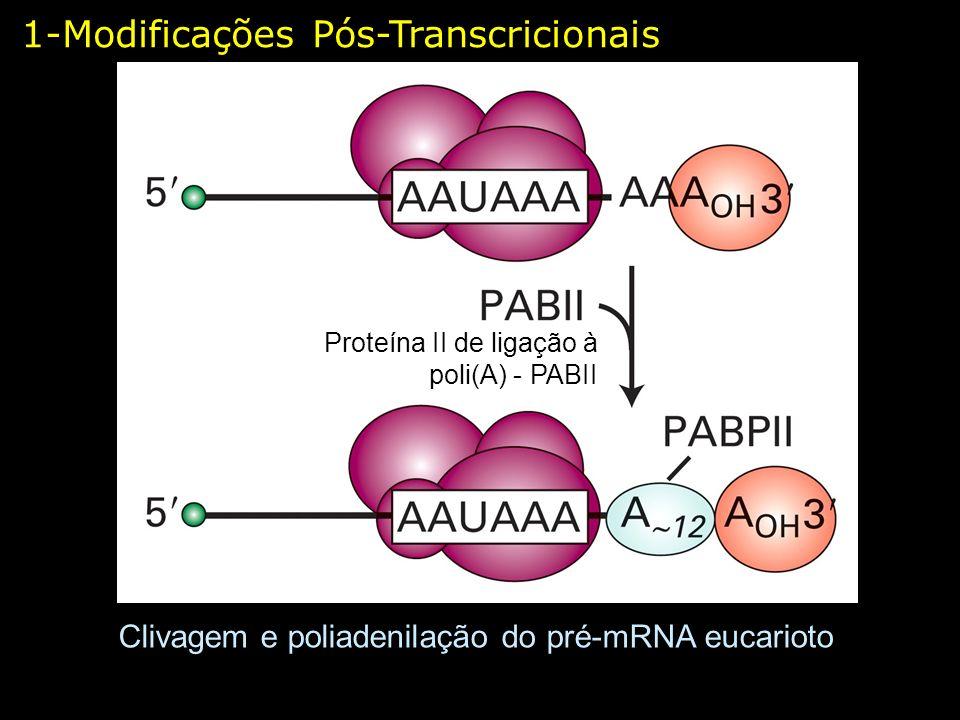 1-Modificações Pós-Transcricionais Clivagem e poliadenilação do pré-mRNA eucarioto Proteína II de ligação à poli(A) - PABII