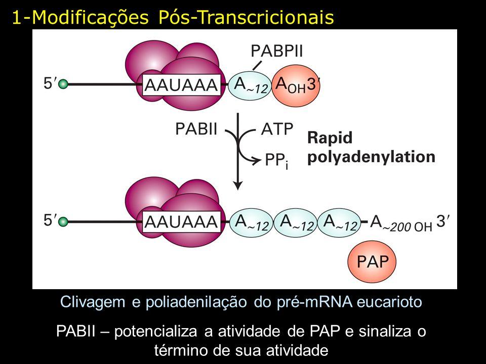 1-Modificações Pós-Transcricionais Clivagem e poliadenilação do pré-mRNA eucarioto PABII – potencializa a atividade de PAP e sinaliza o término de sua