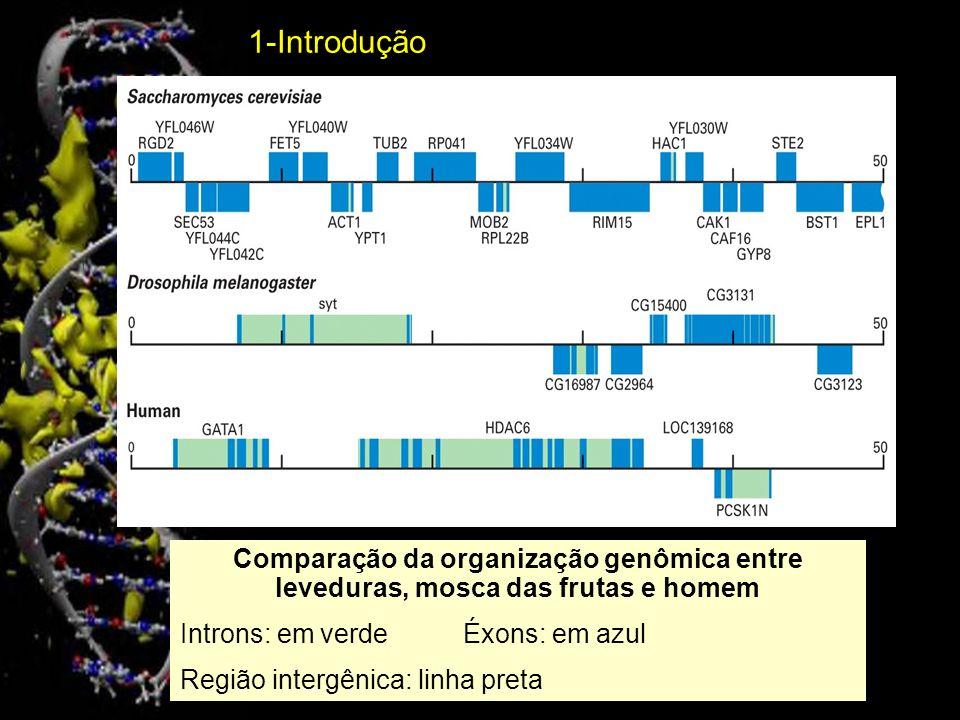 Em humanos Éxons: 50 a 200 pares de bases (pb) Introns: 90 a 3.300 pares de bases Região não-codificadora: íntrons e região intergênica (rica em seqüências repetitivas) Região codificadora: aproximadamente 1,5% do genoma total (em geral seqüências únicas) 1-Introdução