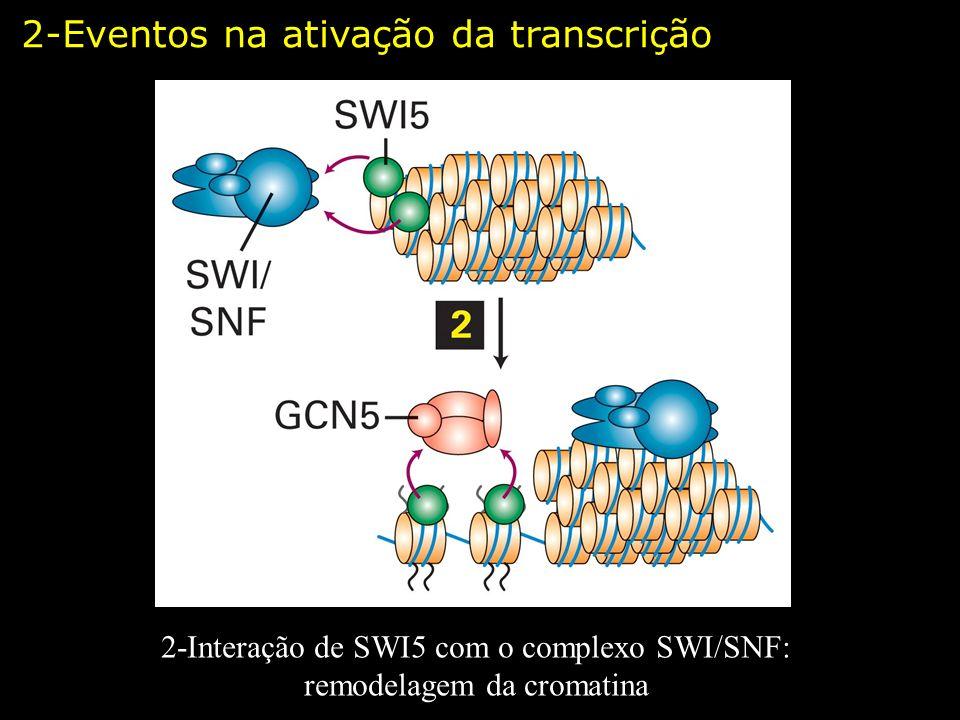 2-Interação de SWI5 com o complexo SWI/SNF: remodelagem da cromatina 2-Eventos na ativação da transcrição