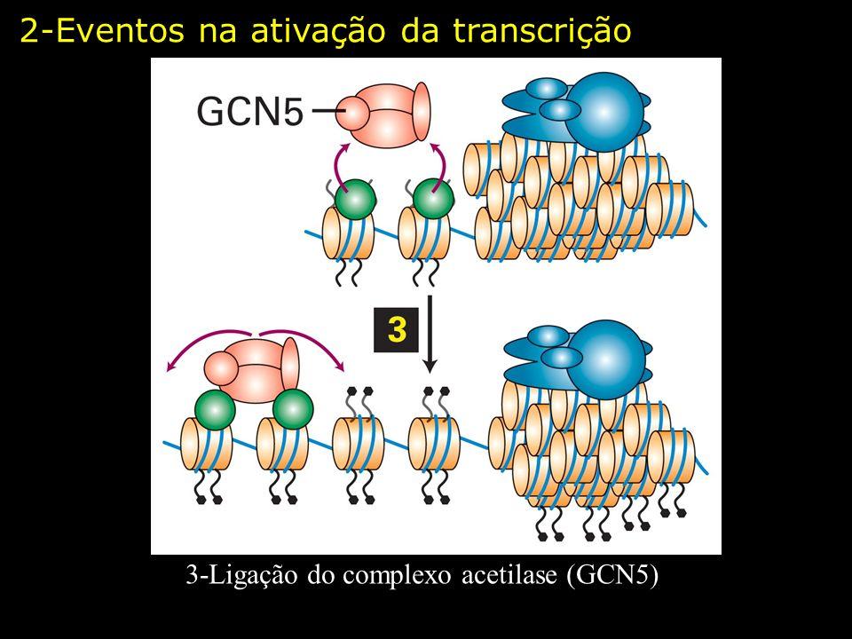 3-Ligação do complexo acetilase (GCN5) 2-Eventos na ativação da transcrição