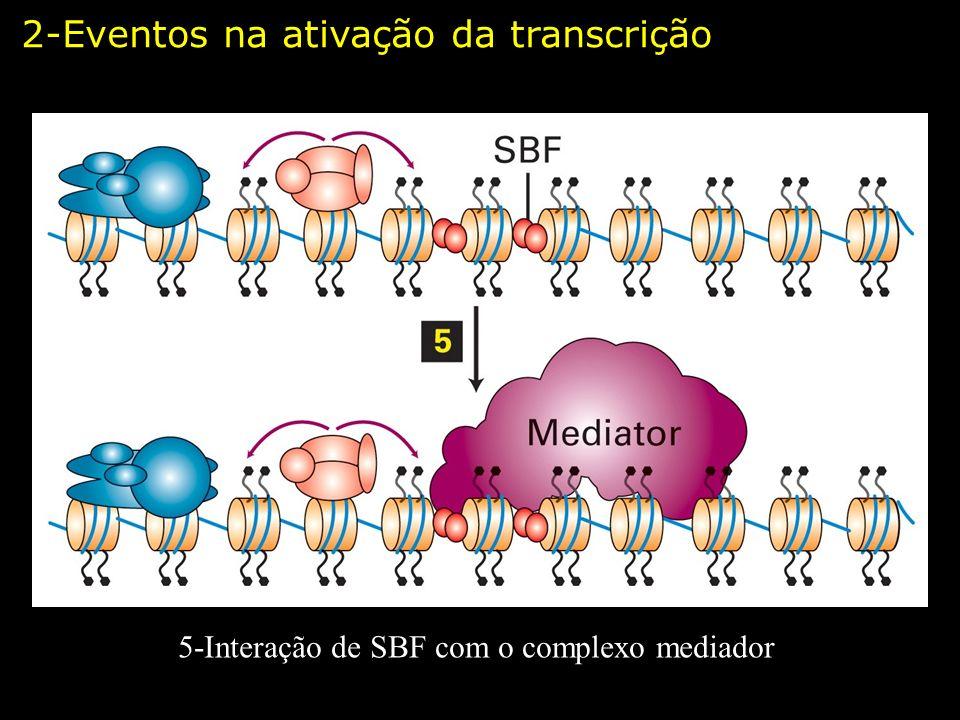5-Interação de SBF com o complexo mediador 2-Eventos na ativação da transcrição