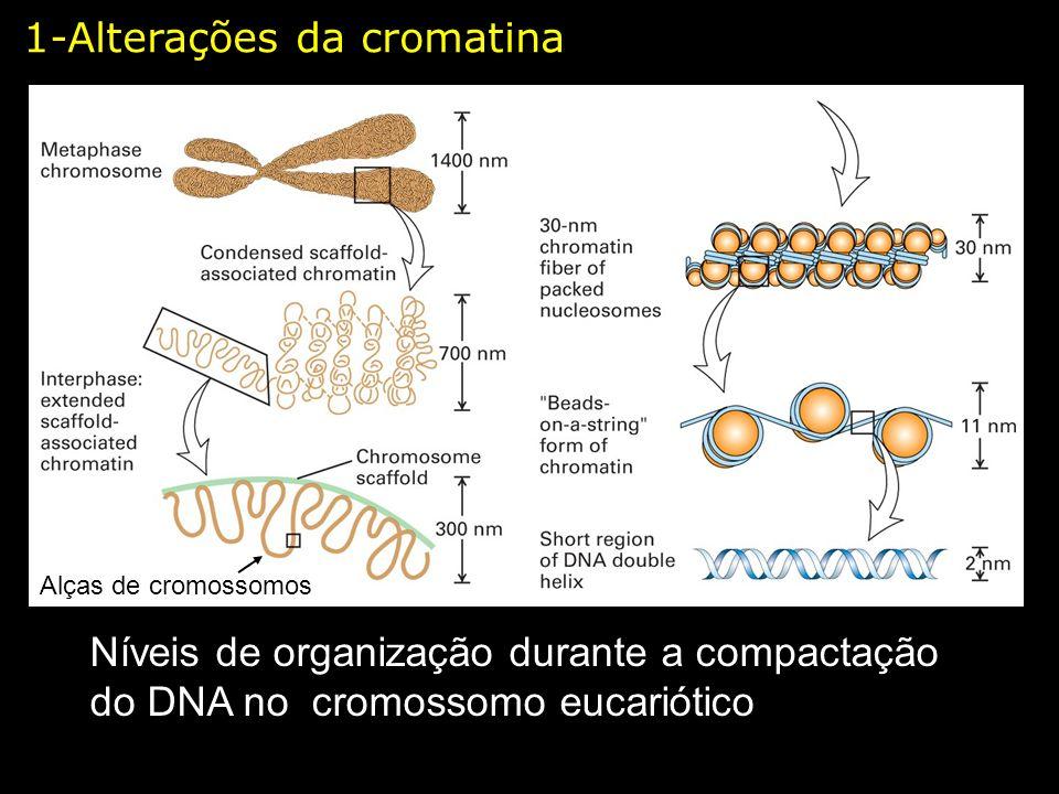 Níveis de organização durante a compactação do DNA no cromossomo eucariótico Alças de cromossomos 1-Alterações da cromatina