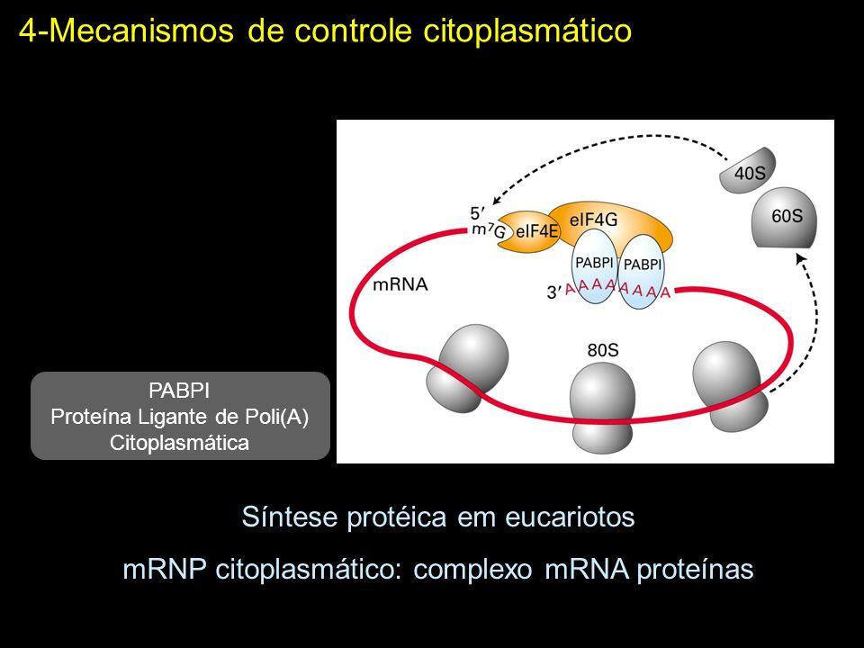 2-Mecanismos de controle citoplasmático Controle da poliadenilação citoplasmática Tradução inativa Elemento de poliadenilação citoplasmática Proteína ligante de CPE (defosforilada)