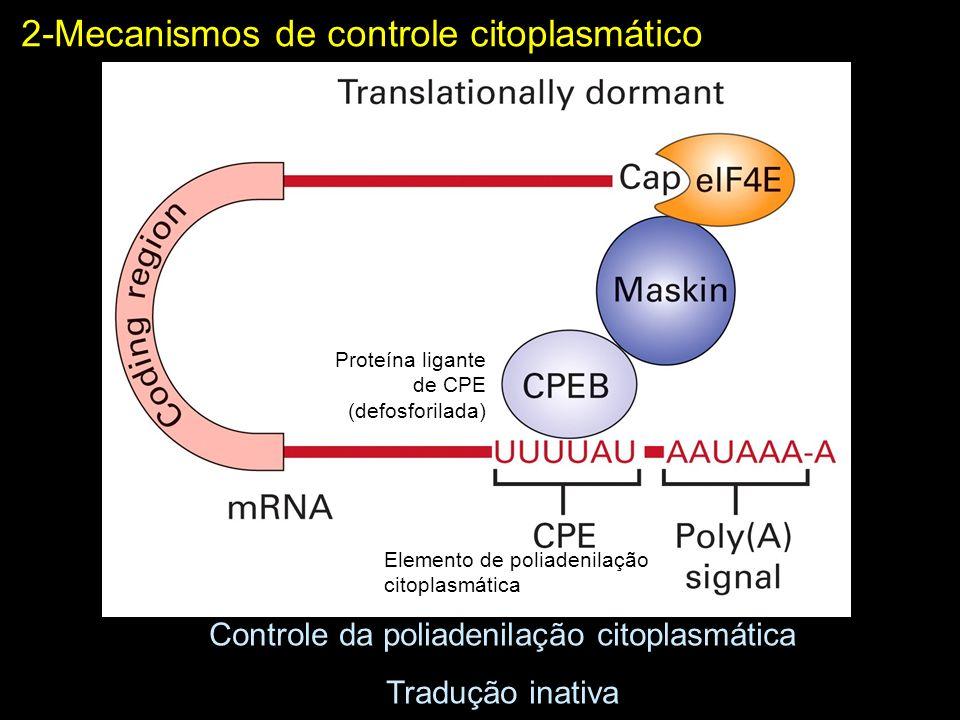 2-Mecanismos de controle citoplasmático Controle da poliadenilação citoplasmática Tradução ativa Proteína ligante de CPE (fosforilada)