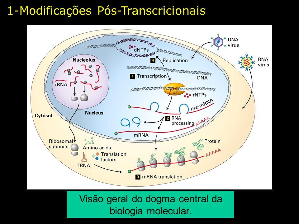 Processamento do pré-mRNA eucarioto