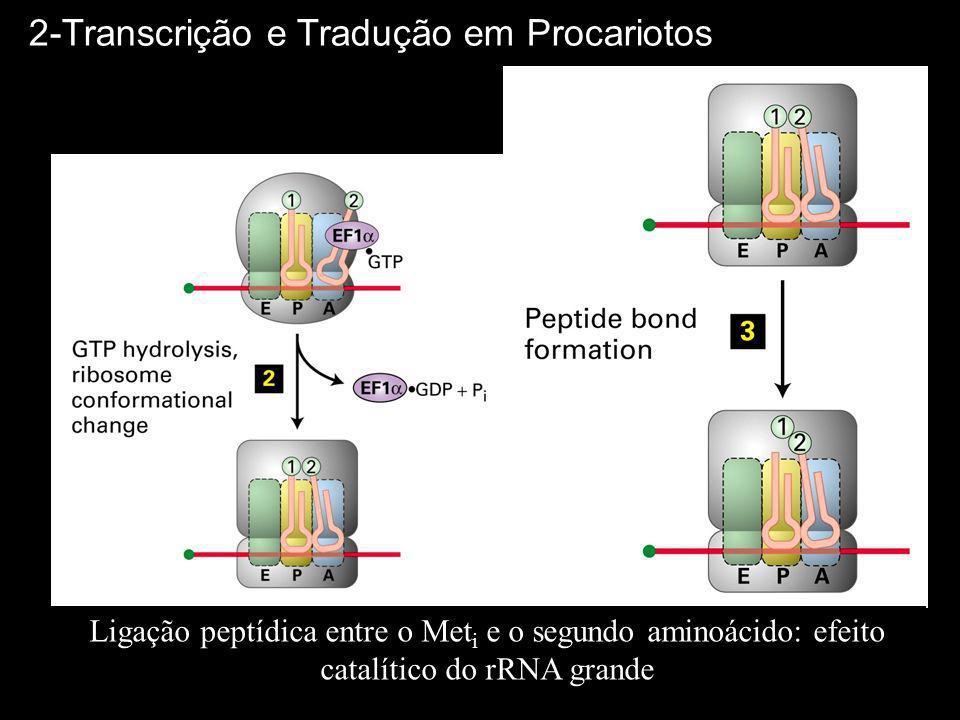 Ligação peptídica entre o Met i e o segundo aminoácido: efeito catalítico do rRNA grande 2-Transcrição e Tradução em Procariotos