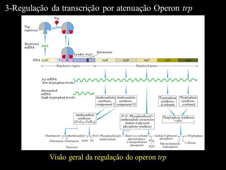 Visão geral da regulação do operon trp 3-Regulação da transcrição por atenuação Operon trp
