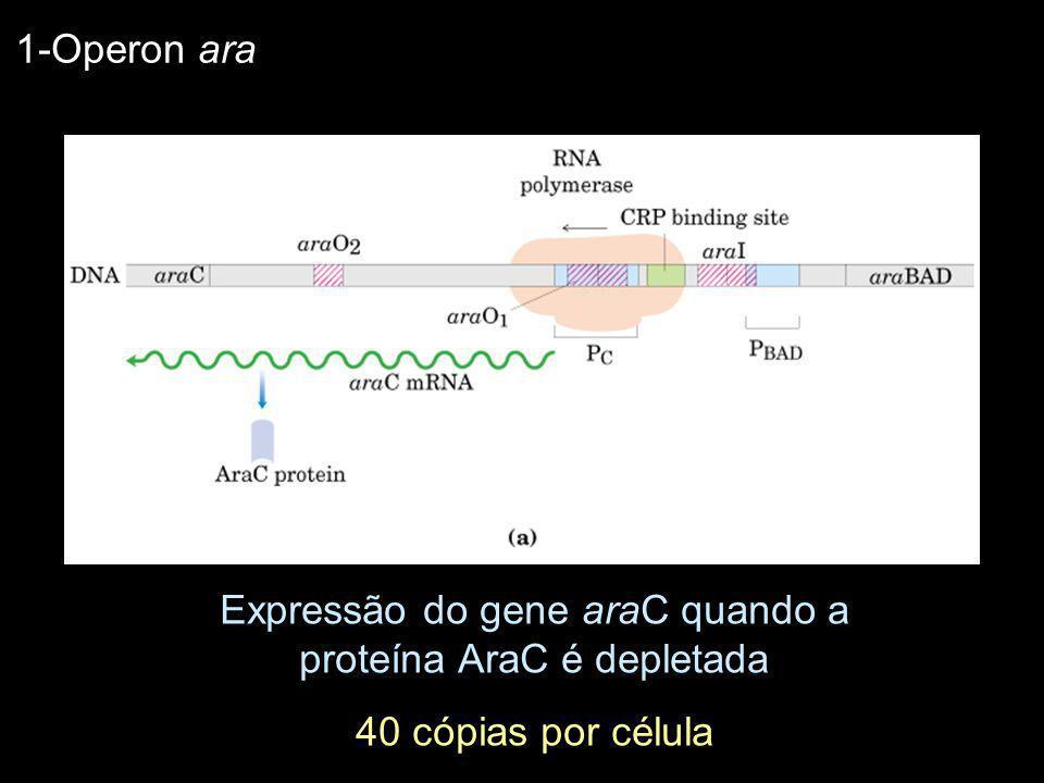 Expressão do gene araC quando a proteína AraC é depletada 40 cópias por célula 1-Operon ara