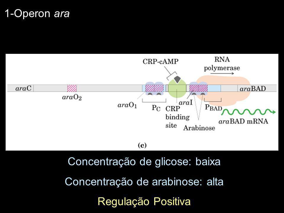 Concentração de glicose: baixa Concentração de arabinose: alta Regulação Positiva 1-Operon ara