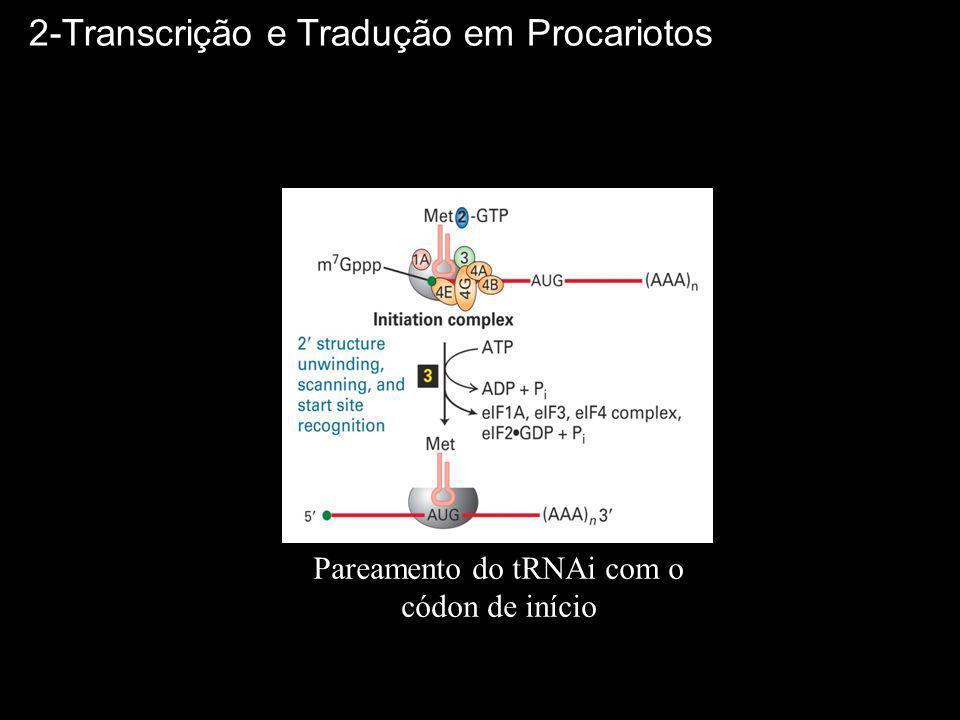 Complexo de Iniciação Pareamento do tRNAi com o códon de início 2-Transcrição e Tradução em Procariotos