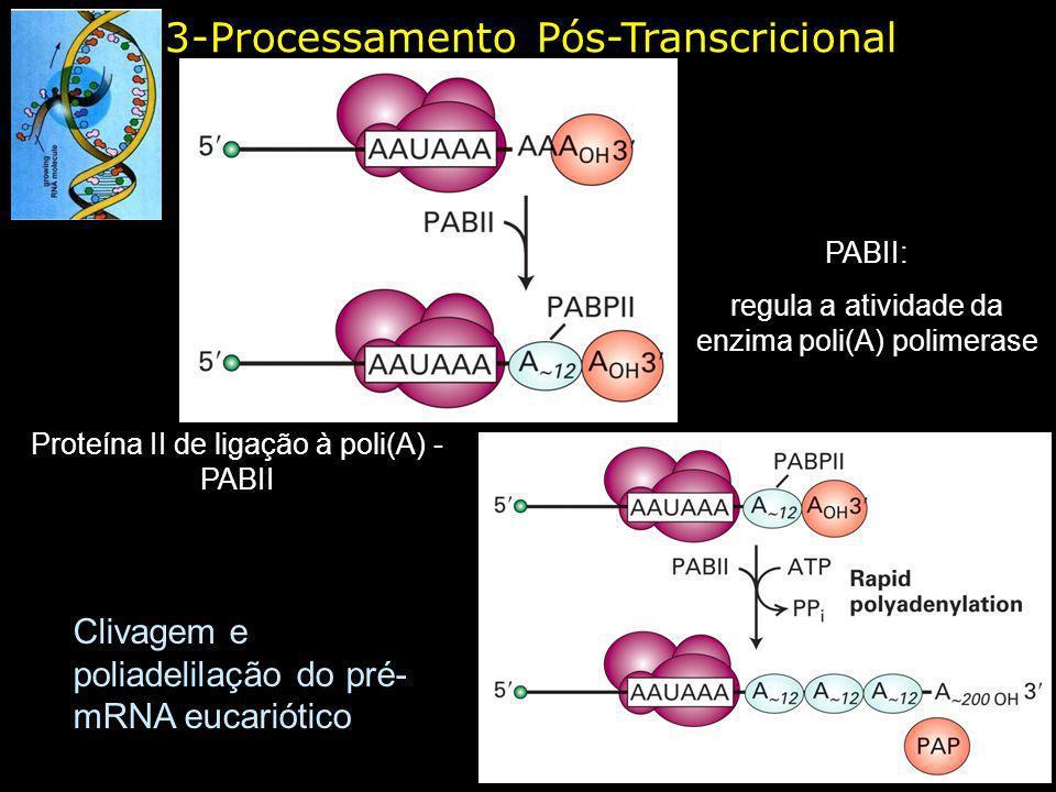 3-Processamento Pós-Transcricional Clivagem e poliadelilação do pré- mRNA eucariótico Proteína II de ligação à poli(A) - PABII PABII: regula a ativida