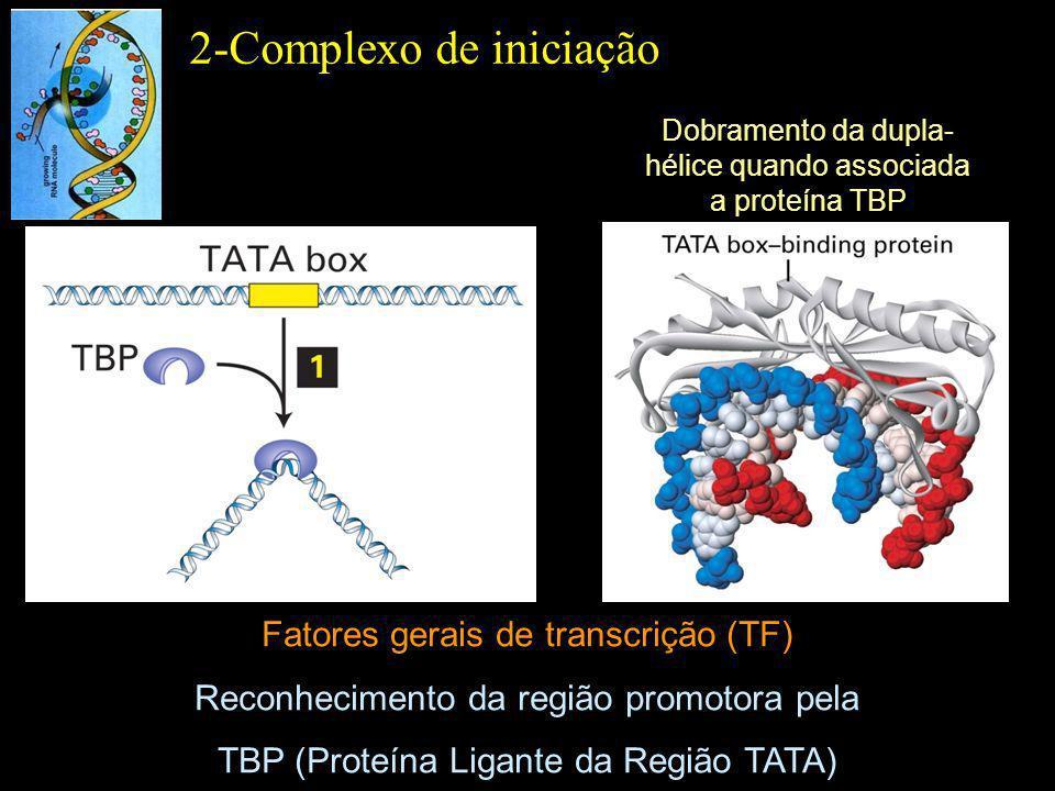 Interação da RNA polimerase II com o promotor TFIIF: posiciona a RNA polimerase ao promotor e ao sítio Inr 2-Complexo de iniciação