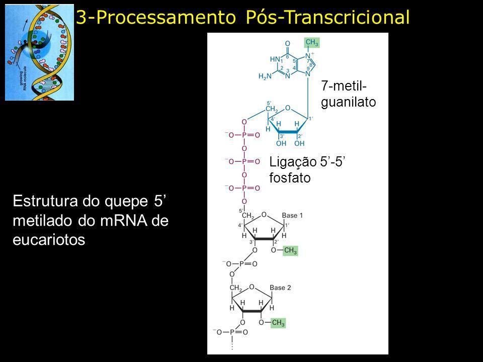 3-Processamento Pós-Transcricional Estrutura do quepe 5 metilado do mRNA de eucariotos 7-metil- guanilato Ligação 5-5 fosfato