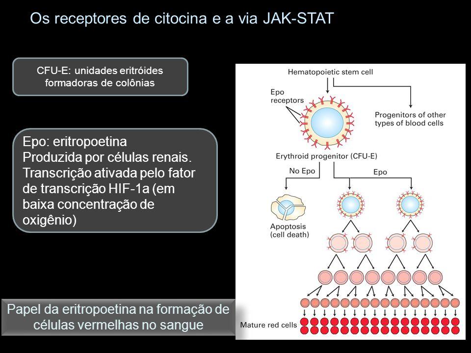 Os receptores de citocina e a via JAK-STAT CFU-E: unidades eritróides formadoras de colônias Epo: eritropoetina Produzida por células renais. Transcri