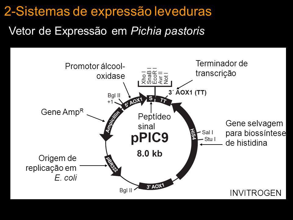 2-Sistemas de expressão leveduras Vetor de Expressão em Pichia pastoris Origem de replicação em E. coli Gene Amp R Promotor álcool- oxidase Terminador