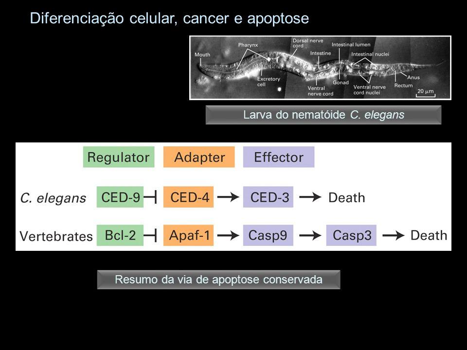 Resumo da via de apoptose conservada Larva do nematóide C. elegans Diferenciação celular, cancer e apoptose