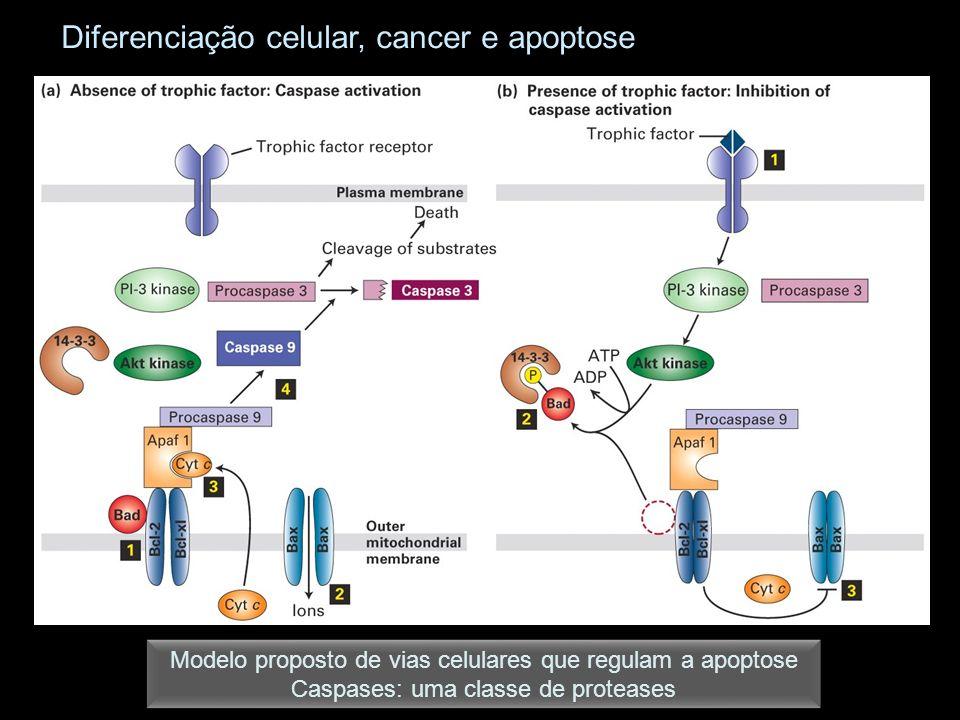 Modelo proposto de vias celulares que regulam a apoptose Caspases: uma classe de proteases Modelo proposto de vias celulares que regulam a apoptose Caspases: uma classe de proteases Diferenciação celular, cancer e apoptose