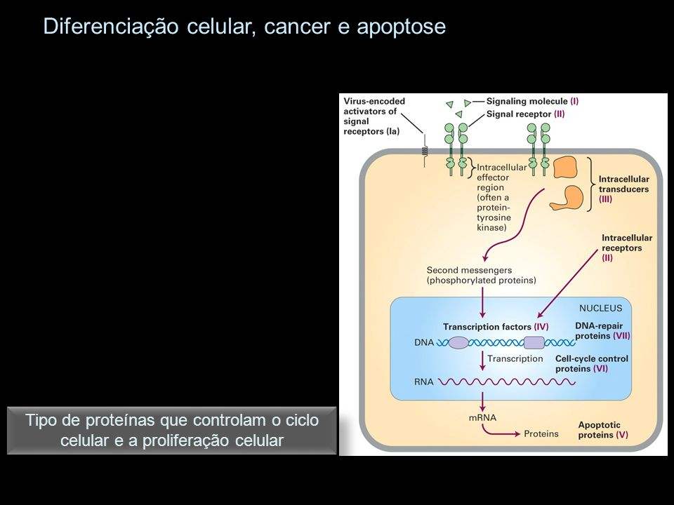 Tipo de proteínas que controlam o ciclo celular e a proliferação celular Diferenciação celular, cancer e apoptose