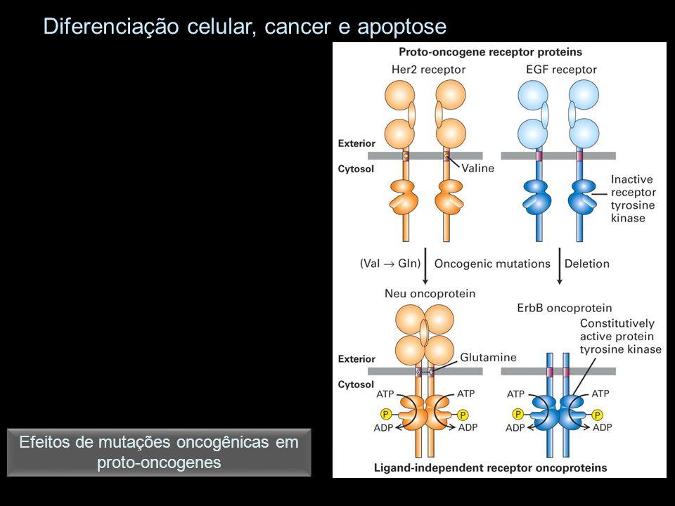 Efeitos de mutações oncogênicas em proto-oncogenes Diferenciação celular, cancer e apoptose