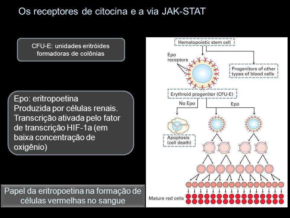 Os receptores de citocina e a via JAK-STAT CFU-E: unidades eritróides formadoras de colônias Epo: eritropoetina Produzida por células renais.