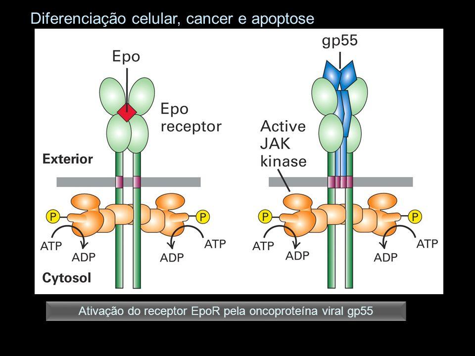 Ativação do receptor EpoR pela oncoproteína viral gp55 Diferenciação celular, cancer e apoptose