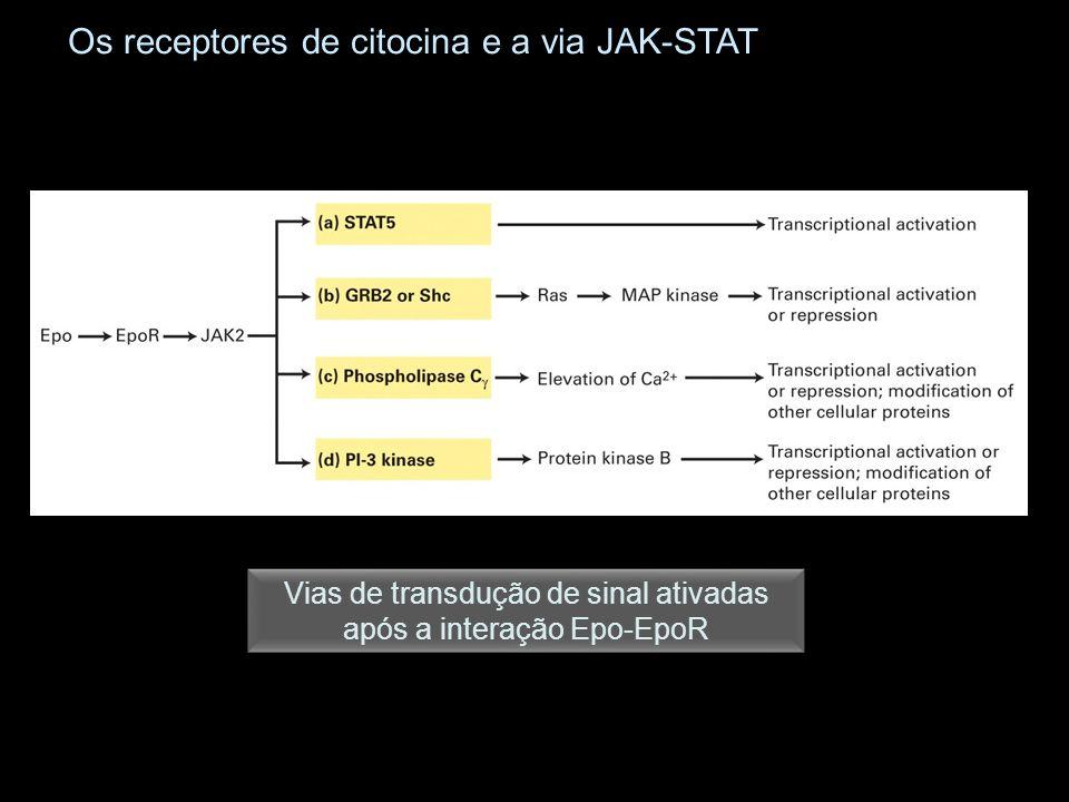 Os receptores de citocina e a via JAK-STAT Vias de transdução de sinal ativadas após a interação Epo-EpoR