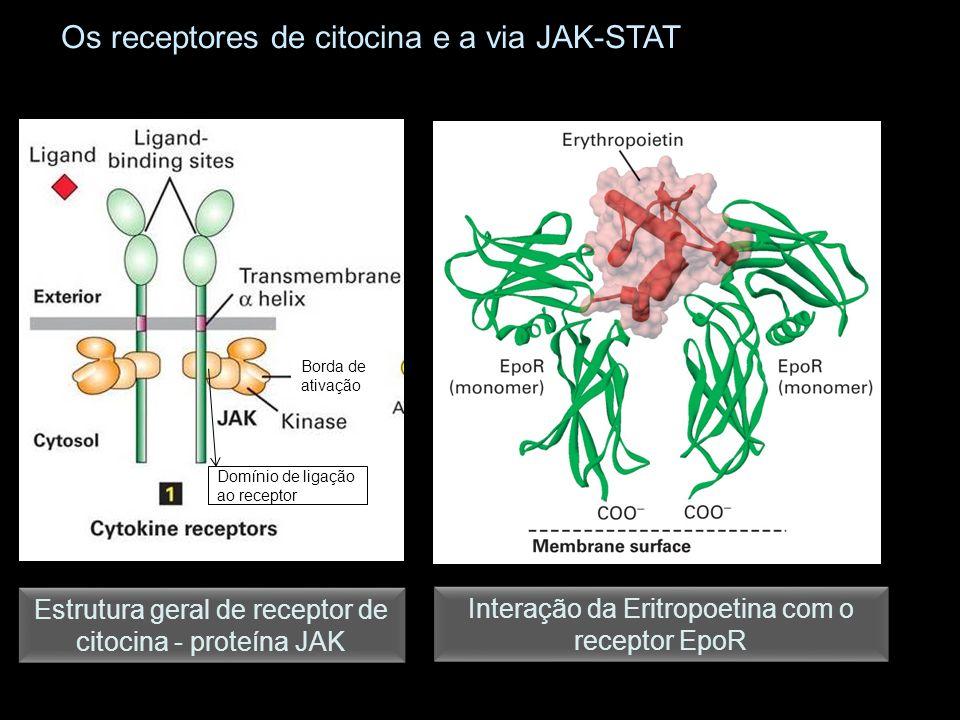 Os receptores de citocina e a via JAK-STAT Interação da Eritropoetina com o receptor EpoR Estrutura geral de receptor de citocina - proteína JAK Borda de ativação Domínio de ligação ao receptor