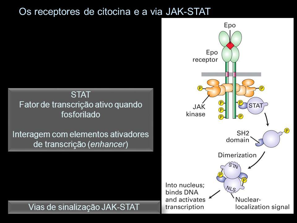 Os receptores de citocina e a via JAK-STAT Vias de sinalização JAK-STAT STAT Fator de transcrição ativo quando fosforilado Interagem com elementos ati