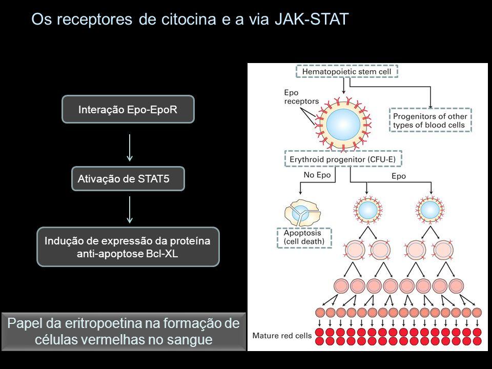 Os receptores de citocina e a via JAK-STAT Papel da eritropoetina na formação de células vermelhas no sangue Interação Epo-EpoR Ativação de STAT5 Indu