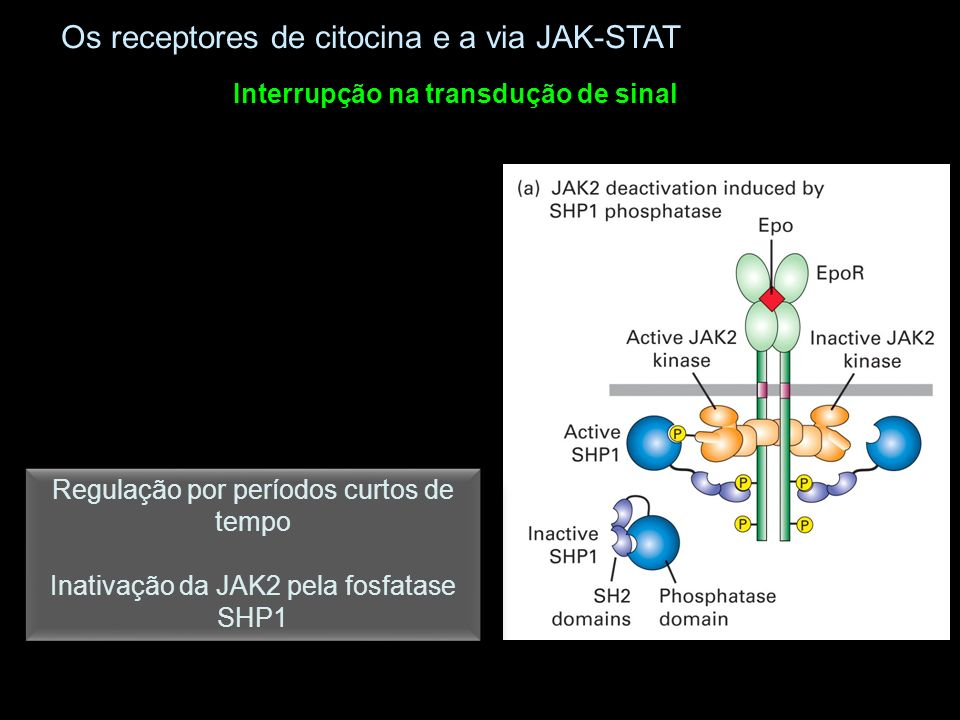 Interrupção na transdução de sinal Os receptores de citocina e a via JAK-STAT Regulação por períodos curtos de tempo Inativação da JAK2 pela fosfatase SHP1 Regulação por períodos curtos de tempo Inativação da JAK2 pela fosfatase SHP1