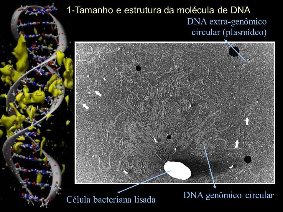 Célula bacteriana lisada DNA genômico circular DNA extra-genômico circular (plasmídeo) 1-Tamanho e estrutura da molécula de DNA