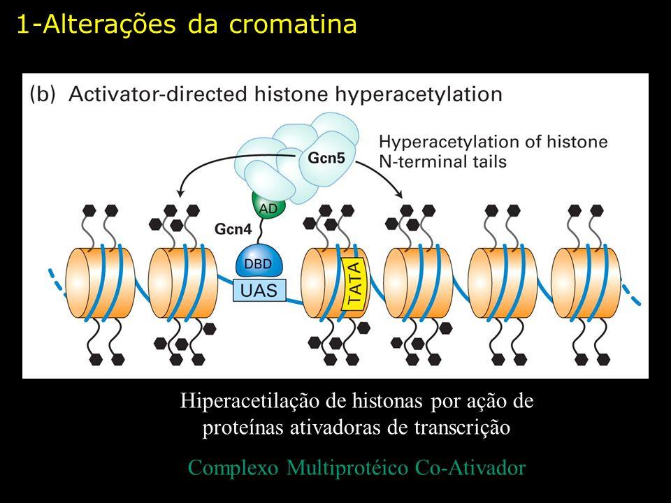Hiperacetilação de histonas por ação de proteínas ativadoras de transcrição Complexo Multiprotéico Co-Ativador 1-Alterações da cromatina